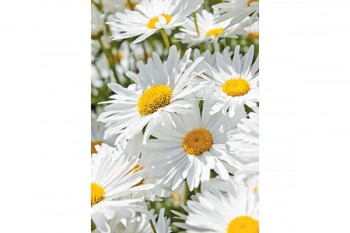 White Daisies Folded Card